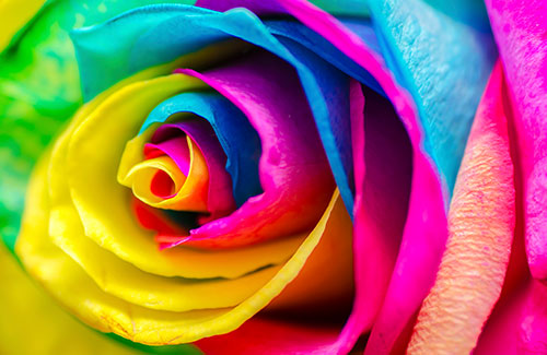 color-rose-500x325